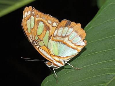 Pearly Malachite Butterfly Poster by Dirk Wiersma