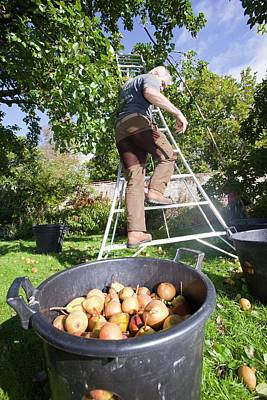 Pears Being Harvested To Make Perry Poster