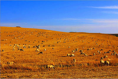 Sheep Grazing Poster