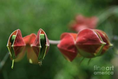 Pedilanthus Bracteatus Euphorbiaceae - Slipper Plant  Poster by Sharon Mau
