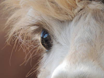 Peek A Boo Alpaca Poster