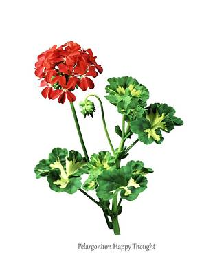 Pelargonium 'happy Thought' Poster by Science Photo Library