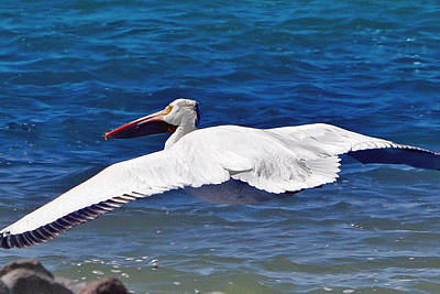 Poster featuring the photograph Pelican At Pyramid Lake by Lula Adams