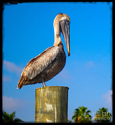 Poster featuring the photograph Pelican by Carsten Reisinger