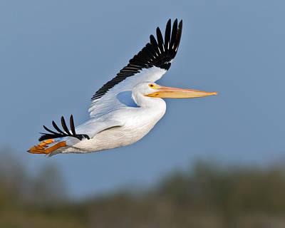 Pelican Flight  Poster