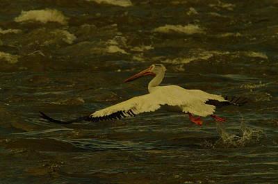 Pelican Flying Low Poster