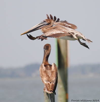 Pelican Flyover Poster