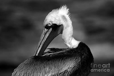 Pelican In Waves Poster