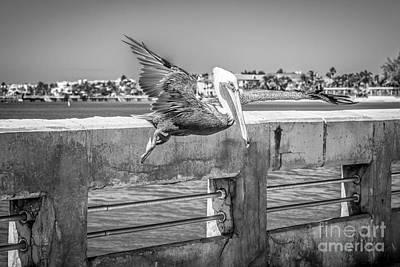 Pelican Landing White Street Pier Key West - Black And White Poster