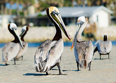 Pelican Looking At You Poster