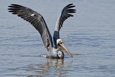 Pelican On Bayou Du Large Poster