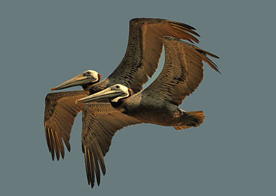 Pelican Pair  - Obx0c4002e Poster by Paul Lyndon Phillips