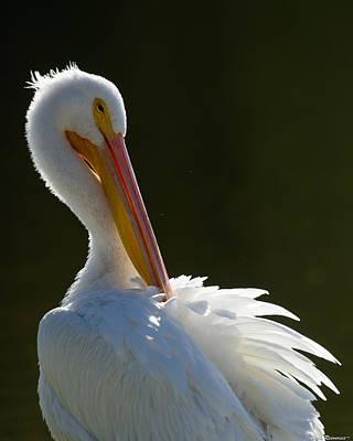 Pelican Preening Poster