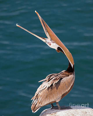 Poster featuring the photograph Pelican Stretch by Dale Nelson