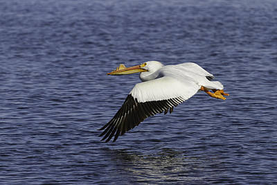 Pelican Taking Off Poster by Thomas Young