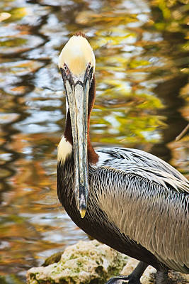 Poster featuring the photograph Pelican by Tammy Schneider