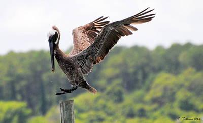 Pelican Touchdown Poster