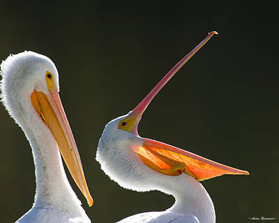 Poster featuring the photograph Pelican Yawn by Avian Resources