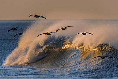 Pelicans And Wave 73a2308-2 Poster