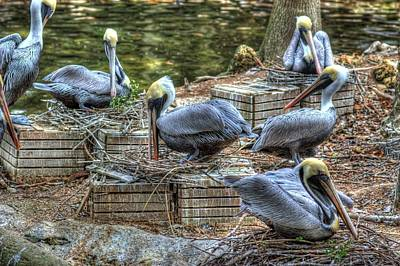 Pelicans By The Dock Poster