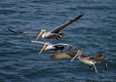 Pelicans In Flight Poster