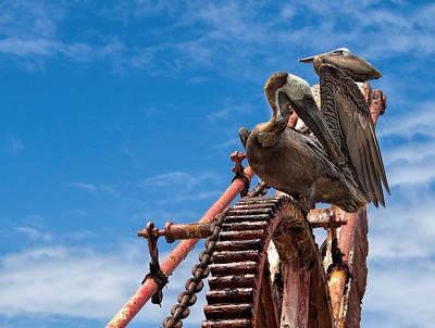 Pelicans In St. Croix Poster