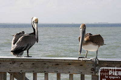 Pelicans On The Pier At Fort Myers Beach In Florida Poster