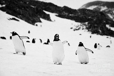 Penguin With Wings Outstretched Calling In Gentoo Penguin Colony On Cuverville Island Antarctica Poster by Joe Fox