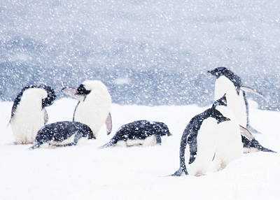 Penguins In The Snow Poster by Carol Walker