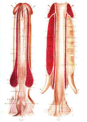 Penis Anatomy Poster