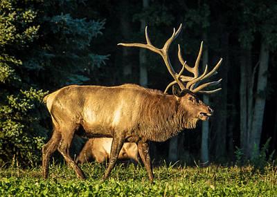 Pennsylvania Bull Elk Poster