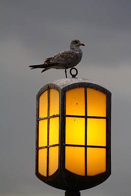 Pensive Gull Poster