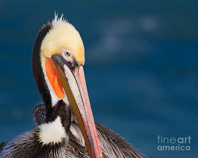 Poster featuring the photograph Pensive Pelican by Dale Nelson