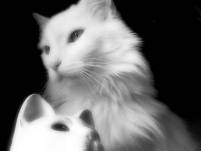 Poster featuring the photograph Pensive Turkish Angora by Aurelio Zucco