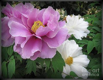 Peonies In White And Lavender Poster