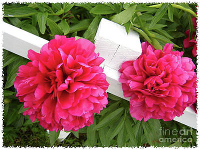 Poster featuring the photograph Peonies Resting On White Fence by Barbara Griffin