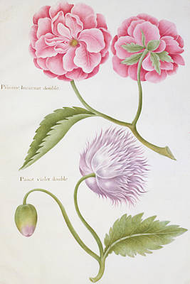 Peony And Double Poppy Poster by Nicolas Robert