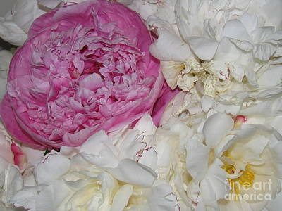 Poster featuring the photograph Peony Bouquet 14 by Margaret Newcomb