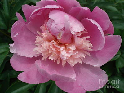 Peony Full Bloom Poster