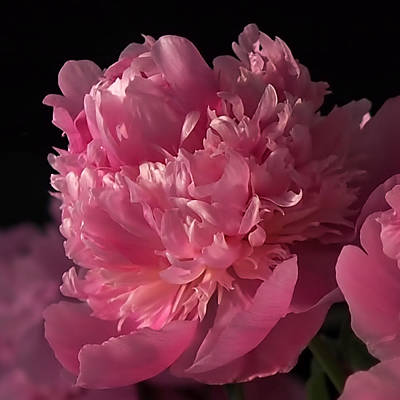Poster featuring the photograph Peony by Rona Black