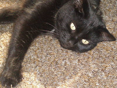 Pepsi Black Cat Found The Hot Spot Poster