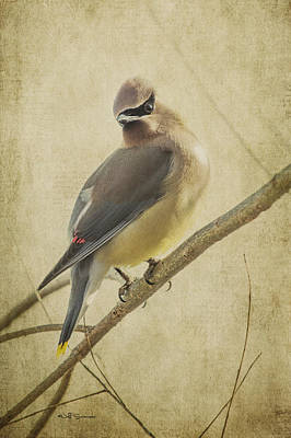 Perching Waxwing Poster by Jeff Swanson