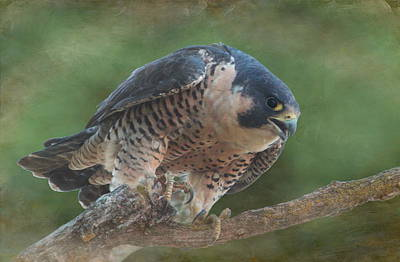 Peregrine Falcon Poster by Angie Vogel