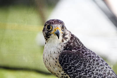 Poster featuring the photograph Peregrine Falcon Bird Of Prey by Eleanor Abramson