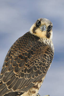 Peregrine Falcon Looking At You Poster