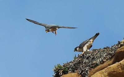 Peregrine Falcons - 6  Poster