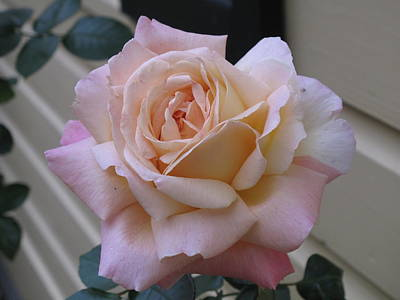 Perfect Blushing October Rose Poster