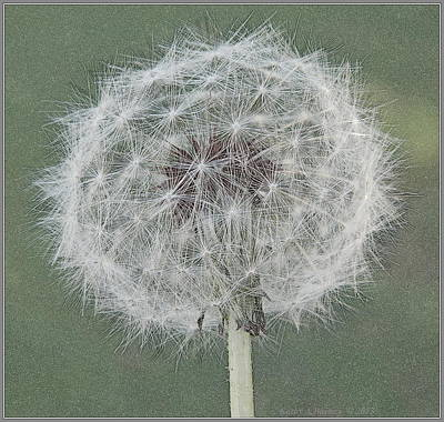 Perfect Dandelion Poster