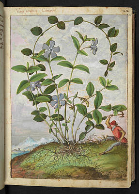 Periwinkle (vinca Minor) Poster by British Library