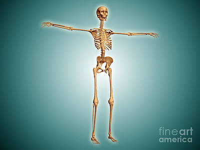 Perspective View Of Human Skeletal Poster